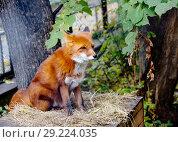 Купить «Рыжая лисица. Red Fox.», фото № 29224035, снято 21 января 2016 г. (c) Галина Савина / Фотобанк Лори