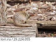 Купить «Полосатый мангуст.  Banded mongoose.», фото № 29224055, снято 10 октября 2018 г. (c) Галина Савина / Фотобанк Лори