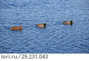 Three mallard ducks in blue wavy water. Стоковое фото, фотограф Anton Eine / Фотобанк Лори