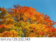 Купить «Maple foliage in autumn», фото № 29232343, снято 11 октября 2018 г. (c) Argument / Фотобанк Лори