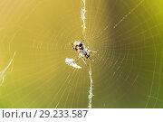 Купить «Garden cross spider (Araneus diadematus) on web», фото № 29233587, снято 14 августа 2016 г. (c) Евгений Ткачёв / Фотобанк Лори