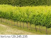 Купить «Canada, BC, Penticton. Orderly line of young grape vines, in the Narramata Bench wine growing region.», фото № 29245235, снято 27 июня 2018 г. (c) age Fotostock / Фотобанк Лори