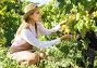 Купить «Woman harvesting white grapes», фото № 29248231, снято 13 сентября 2018 г. (c) Яков Филимонов / Фотобанк Лори