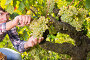Купить «Bunch of white grapes gathered by man», фото № 29248243, снято 13 сентября 2018 г. (c) Яков Филимонов / Фотобанк Лори
