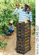 Купить «Successful male owner of orchard gathering harvest of ripe peaches on sunny day», фото № 29248527, снято 12 июля 2018 г. (c) Яков Филимонов / Фотобанк Лори