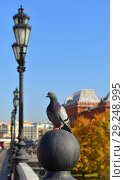 Купить «Rock dove, rock pigeon, or common pigeon (Columba livia) on background of Alexander Gardens. Moscow, Russia. Golden autumn», фото № 29248995, снято 15 октября 2018 г. (c) Валерия Попова / Фотобанк Лори