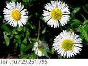 Купить «Flower, daisy», фото № 29251795, снято 4 мая 2008 г. (c) age Fotostock / Фотобанк Лори