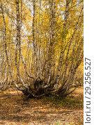 Купить «Березовое криволесье, горный лес на Кавказе», фото № 29256527, снято 29 сентября 2018 г. (c) Юлия Бабкина / Фотобанк Лори