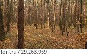 Купить «Autumn deciduous forest on clear day», видеоролик № 29263959, снято 26 июня 2019 г. (c) Володина Ольга / Фотобанк Лори