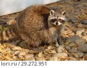 Купить «Енот-полоскун. Raccoon.», фото № 29272951, снято 28 марта 2018 г. (c) Галина Савина / Фотобанк Лори