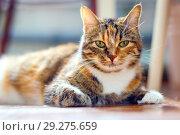 Купить «Portrait of an American Shorthair multicolored cat.», фото № 29275659, снято 10 марта 2016 г. (c) Акиньшин Владимир / Фотобанк Лори