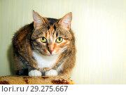 Купить «Portrait of an American Shorthair multicolored cat.», фото № 29275667, снято 23 января 2016 г. (c) Акиньшин Владимир / Фотобанк Лори
