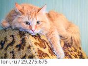 Купить «Portrait of a red Siberian cat.», фото № 29275675, снято 8 февраля 2016 г. (c) Акиньшин Владимир / Фотобанк Лори