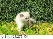 Купить «British Shorthair kitten with blue eyes on the green grass», фото № 29275951, снято 22 ноября 2019 г. (c) Игорь Бородин / Фотобанк Лори