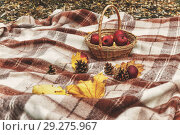 Купить «Checkered brown plaid, basket with apples, cones and yellow autumn leaves. Top view, copy space, flat lay. The concept of walking picnics in the fresh air. Retro film toning», фото № 29275967, снято 20 октября 2018 г. (c) Tetiana Chugunova / Фотобанк Лори