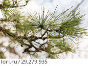 Купить «close up of green pine tree branch», фото № 29279935, снято 11 февраля 2018 г. (c) Syda Productions / Фотобанк Лори