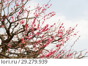 Купить «close up of beautiful sakura tree blossoms», фото № 29279939, снято 11 февраля 2018 г. (c) Syda Productions / Фотобанк Лори