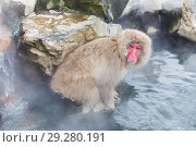 Купить «japanese macaque or snow monkey in hot spring», фото № 29280191, снято 7 февраля 2018 г. (c) Syda Productions / Фотобанк Лори
