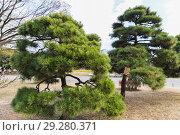 Купить «pine trees at hamarikyu gardens park in tokyo», фото № 29280371, снято 11 февраля 2018 г. (c) Syda Productions / Фотобанк Лори