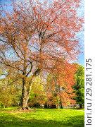 Купить «Дерево Бук лесной пурпурнолистный (Европейский)», фото № 29281175, снято 4 мая 2018 г. (c) Parmenov Pavel / Фотобанк Лори