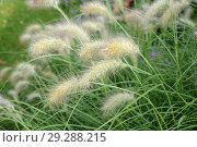 Купить «Feathertop grass (Pennisetum villosum) is a perennial herb native to eas Africa and Arabian Peninsula. This photo was taken in Lalibela, Ethiopia.», фото № 29288215, снято 7 июля 2012 г. (c) age Fotostock / Фотобанк Лори