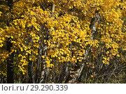 Купить «Осина обыкновенная (Populus tremula, Тополь дрожащий). Золотая осень», фото № 29290339, снято 15 октября 2018 г. (c) Алёшина Оксана / Фотобанк Лори