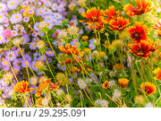 Bright autumn floral natural background with orange and purple flowers on a flowerbed in the garden.  Indian summer. Sunny day. Стоковое фото, фотограф Светлана Евграфова / Фотобанк Лори