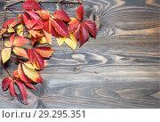 Купить «Осенний сюжет. Ветка девичьего винограда с яркими разноцветными листьями на деревянном фоне», фото № 29295351, снято 22 октября 2018 г. (c) Наталья Волкова / Фотобанк Лори