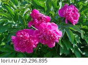Розовые пионы (лат. Paeonia) в саду. Стоковое фото, фотограф Елена Коромыслова / Фотобанк Лори