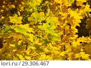 Купить «Золотая осень. Желтые, желто-зеленые кленовые листья», эксклюзивное фото № 29306467, снято 11 октября 2018 г. (c) lana1501 / Фотобанк Лори
