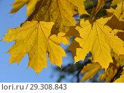Купить «Ярко-желтые кленовые листья на ветке осенью», эксклюзивное фото № 29308843, снято 18 октября 2018 г. (c) lana1501 / Фотобанк Лори