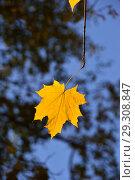 Один желтый кленовый лист на ветке. Золотая осень. Стоковое фото, фотограф lana1501 / Фотобанк Лори