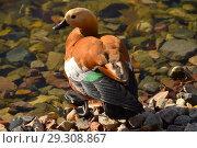 Огарь, или красная утка (лат. Tadorna ferruginea) у воды (2018 год). Стоковое фото, фотограф lana1501 / Фотобанк Лори