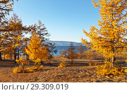 Golden autumn on Baikal Lake. Bright yellow larches tree on the sandy shore of the Small Sea on Olkhon Island in the sunset light. Стоковое фото, фотограф Виктория Катьянова / Фотобанк Лори