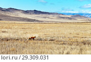 Купить «Wild red fox with a fluffy tail on a field with dry grass in the steppe part of the island of Olkhon on an autumn sunny day. Baikal Lake, Siberia», фото № 29309031, снято 14 октября 2018 г. (c) Виктория Катьянова / Фотобанк Лори
