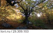 Купить «Буковый лес осенью на Демерджи, солнечный свет сквозь листья деревьев», видеоролик № 29309103, снято 13 октября 2018 г. (c) Яна Королёва / Фотобанк Лори