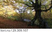 Купить «Буковый лес осенью на Демерджи», видеоролик № 29309107, снято 13 октября 2018 г. (c) Яна Королёва / Фотобанк Лори