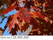 Купить «Багряные листочки дуба остролистного. Золотая осень», эксклюзивное фото № 29309343, снято 18 октября 2018 г. (c) lana1501 / Фотобанк Лори