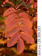Купить «Красный лист рябины. Золотая осень», эксклюзивное фото № 29309351, снято 18 октября 2018 г. (c) lana1501 / Фотобанк Лори