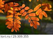 Купить «Веточки с красными листьями рябины в парке. Золотая осень», эксклюзивное фото № 29309355, снято 18 октября 2018 г. (c) lana1501 / Фотобанк Лори