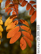 Купить «Веточка с желто-красными листьями рябины. Золотая осень», эксклюзивное фото № 29309359, снято 18 октября 2018 г. (c) lana1501 / Фотобанк Лори