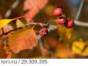 Купить «Ярко-красные ягоды боярышника на кусте в октябре», эксклюзивное фото № 29309395, снято 15 октября 2018 г. (c) lana1501 / Фотобанк Лори
