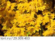 Ярко желтые и оранжевые кленовые листья. Золотая осень. Стоковое фото, фотограф lana1501 / Фотобанк Лори