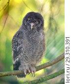 Купить «Young Great grey owl or great gray owl (Strix nebulosa)», фото № 29310391, снято 16 июля 2018 г. (c) Валерия Попова / Фотобанк Лори