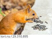 Купить «Close-up photo of a small reddish-haired European squirrel gnawing seeds.», фото № 29310895, снято 21 июля 2018 г. (c) Акиньшин Владимир / Фотобанк Лори