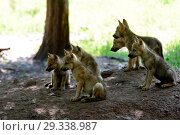 Купить «Canine, Canis lupus, endemic animal species, European wolf, protected animal species, grey wolf, grey wolf, doggy, Isegrimm, young wolves, Jung's wolves...», фото № 29338987, снято 20 февраля 2019 г. (c) age Fotostock / Фотобанк Лори