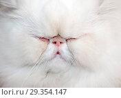 Купить «Морда белого спящего толстого персидского кота», фото № 29354147, снято 30 октября 2005 г. (c) Михаил Котов / Фотобанк Лори