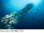 Купить «Shoal of Bigeye Trevally, Caranx sexfasciatus, Cabo Pulmo, Baja California Sur, Mexico», фото № 29362151, снято 17 декабря 2018 г. (c) age Fotostock / Фотобанк Лори