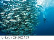 Купить «Shoal of Bigeye Trevally, Caranx sexfasciatus, Cabo Pulmo, Baja California Sur, Mexico», фото № 29362159, снято 14 декабря 2018 г. (c) age Fotostock / Фотобанк Лори