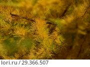 Купить «Золотистая хвоя лиственницы европейской», эксклюзивное фото № 29366507, снято 16 октября 2018 г. (c) lana1501 / Фотобанк Лори
